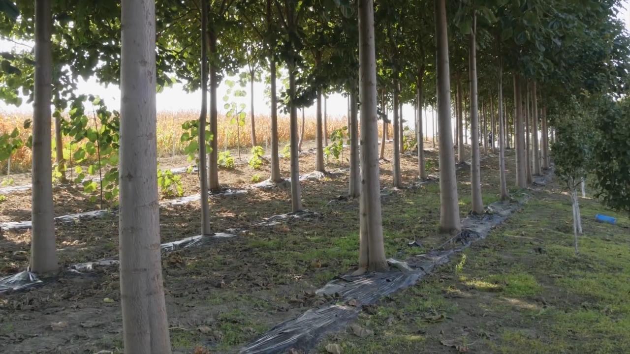 Carsko i smaragdno drvo