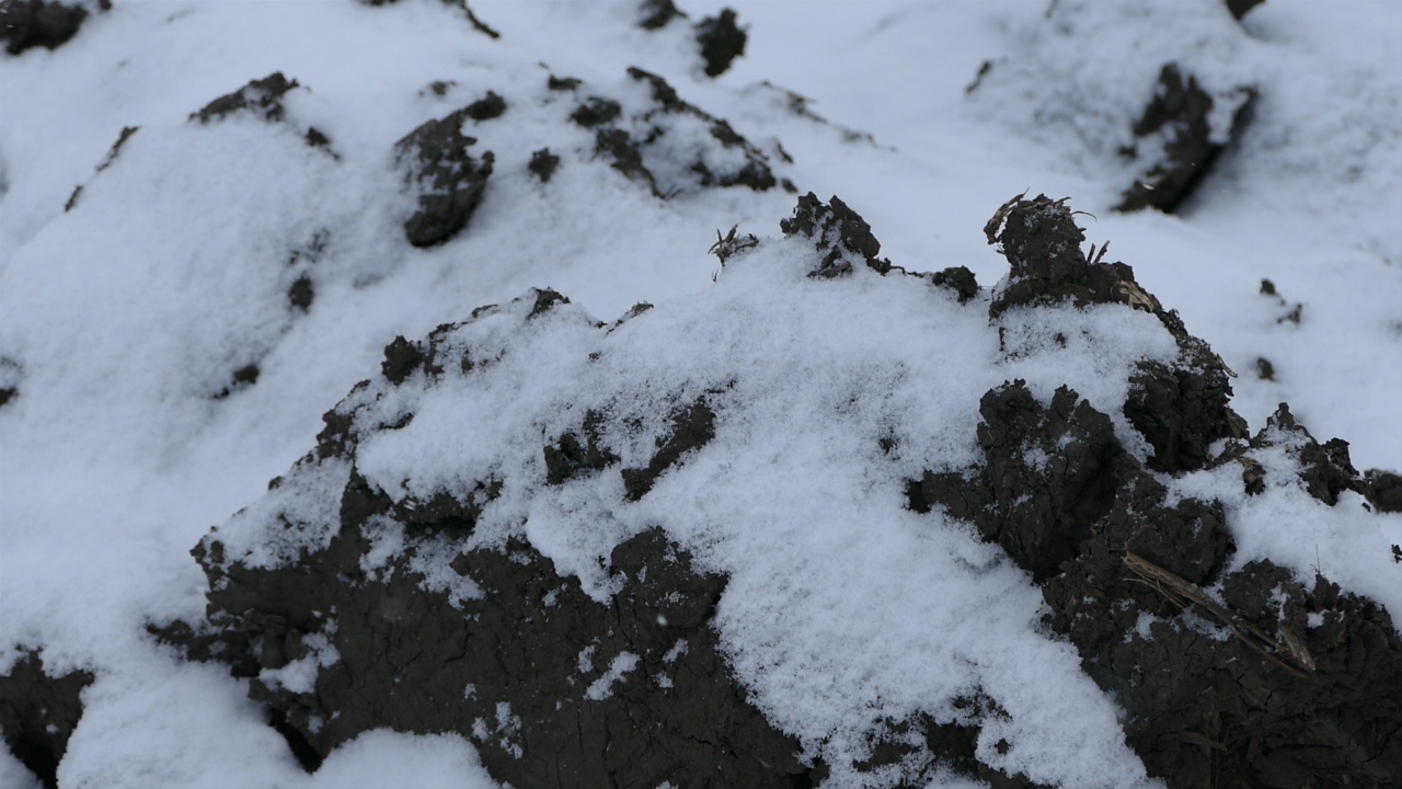 Sneg čuva pšenicu