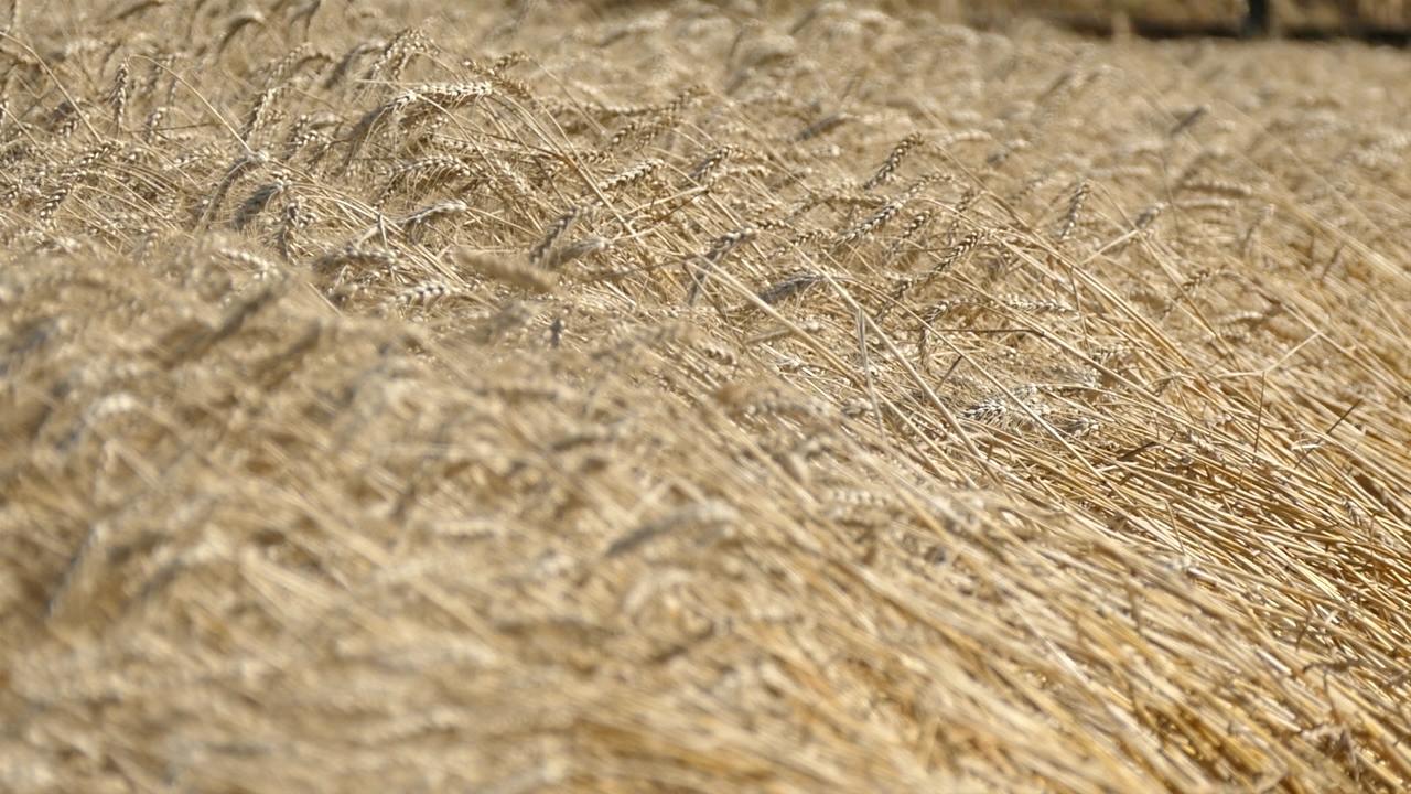 Pšenica iz kamenog doba