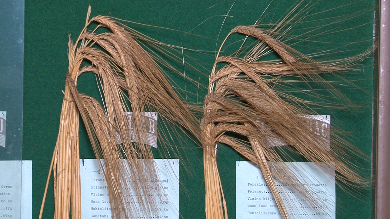 Kragujevačke sorte na oko 700 ha