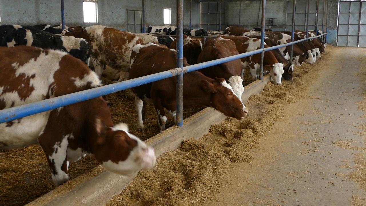U 2016. izvezeno svega 1.130 tona govedine