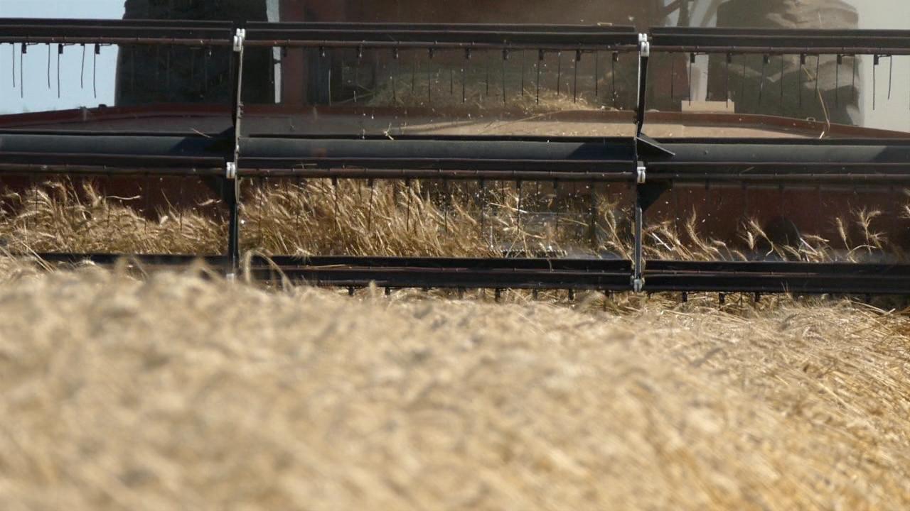 """Žetva pšenice """"mršavija""""od lanjske"""