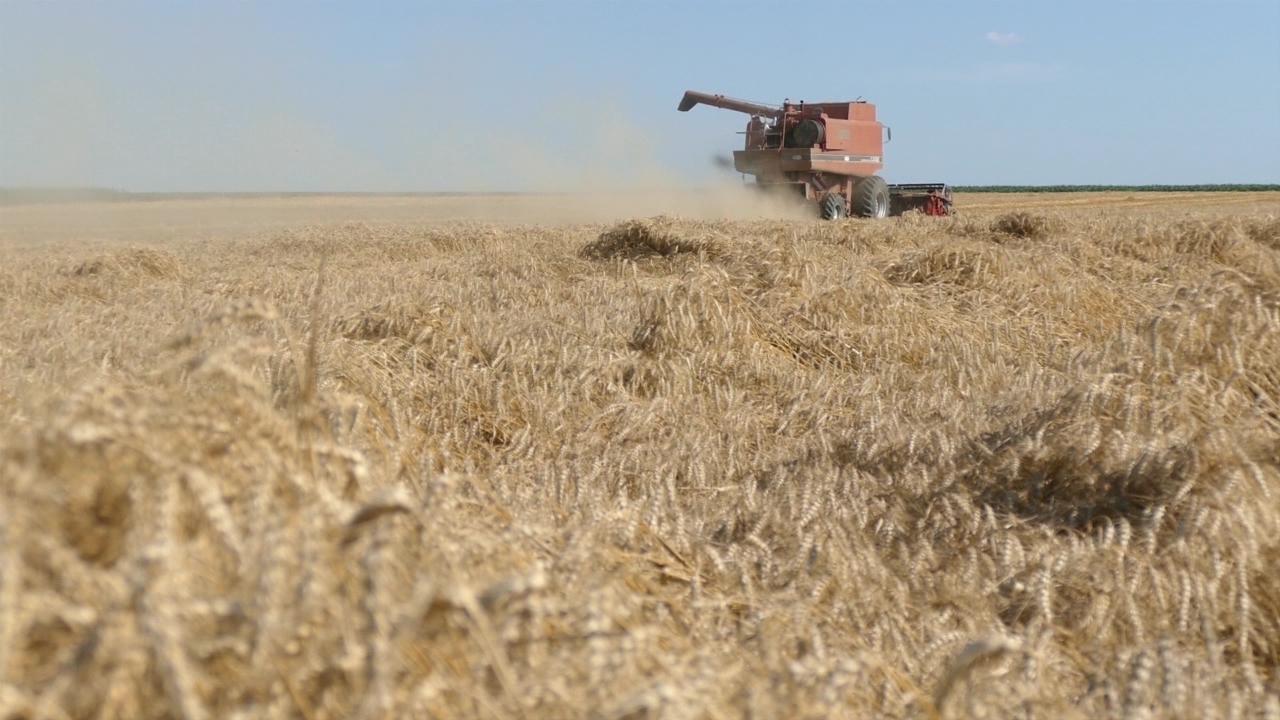 Očekuje se ukupno oko 2,2 miliona tona pšenice