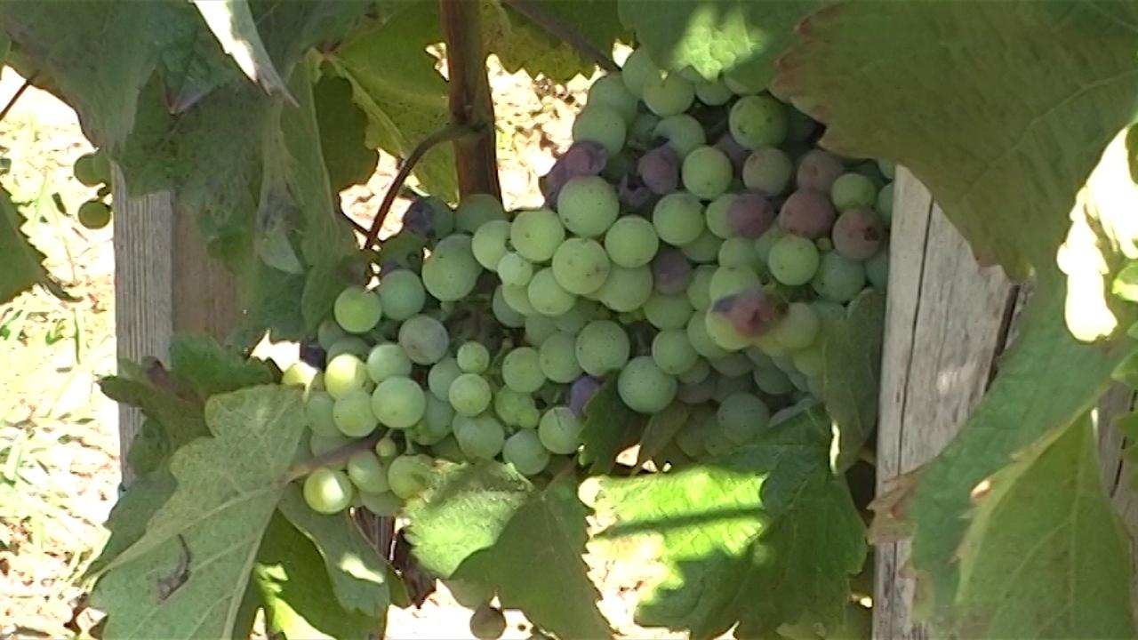 Mladi se vraćaju vinogradarstvu