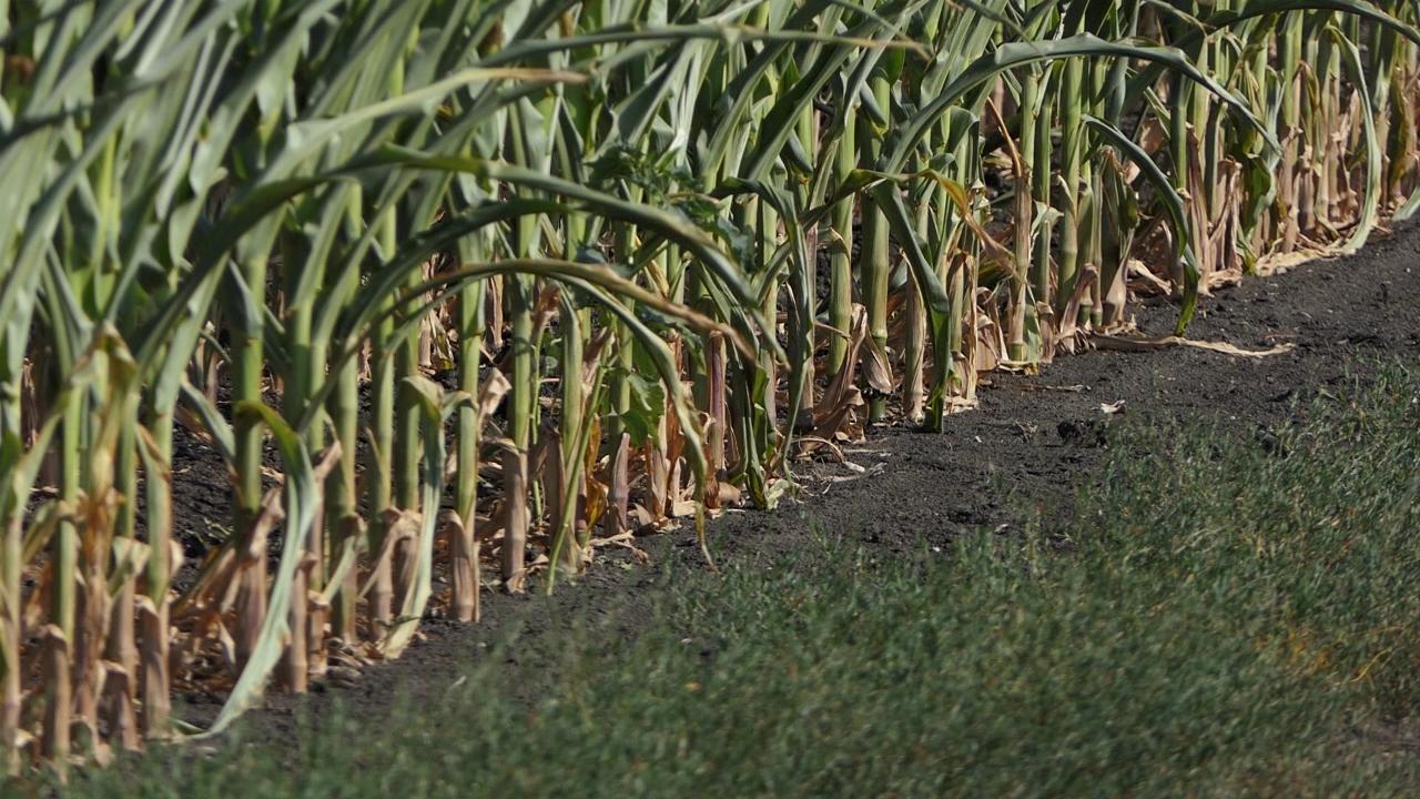 Kukuruz u Braničevu na 66.000 hektara