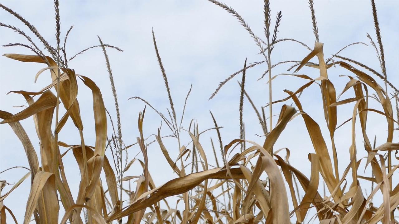 Ponegde kukuruza neće biti ni za silažu