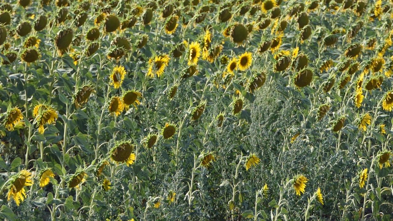 Samo na kukuruzu šteta 525 miliona evra