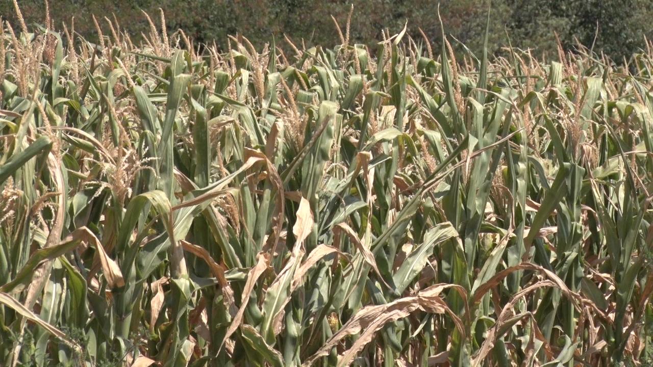 Kukuruza ni za silažu