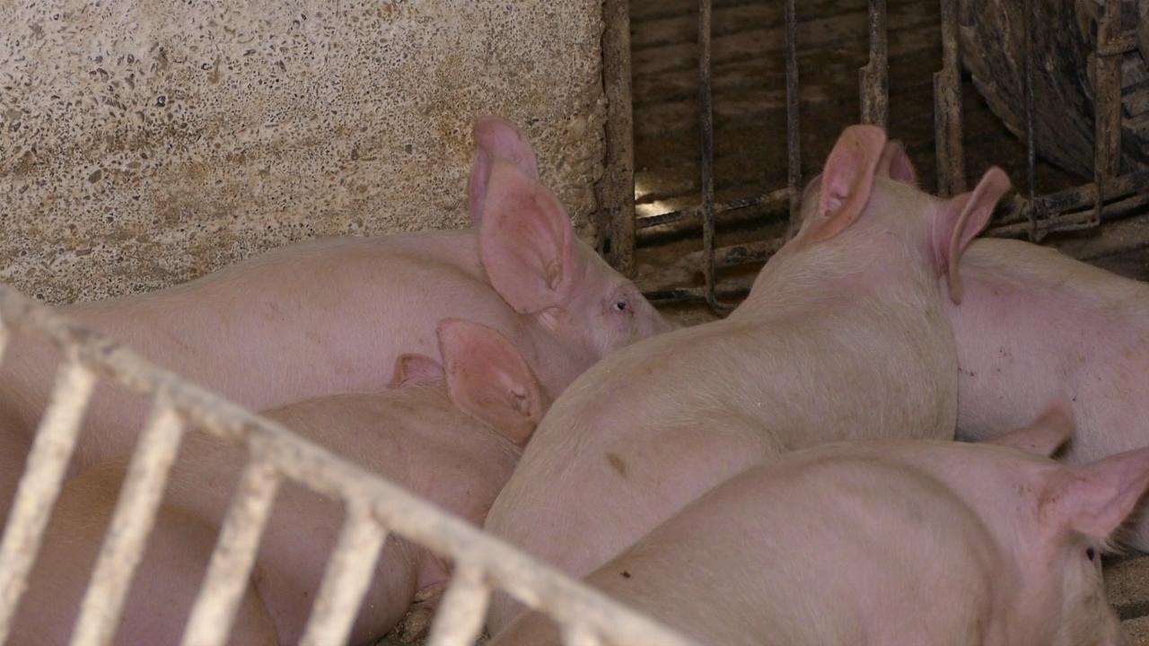 Sajam svinja i poljoprivrede po 17. put