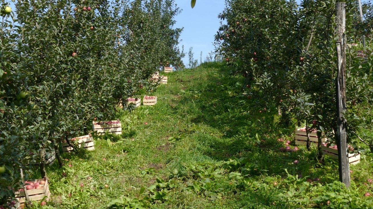 Jabuke za evropsko tržište