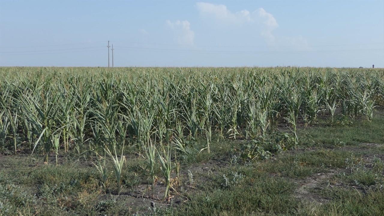 Kukuruza 75% manje