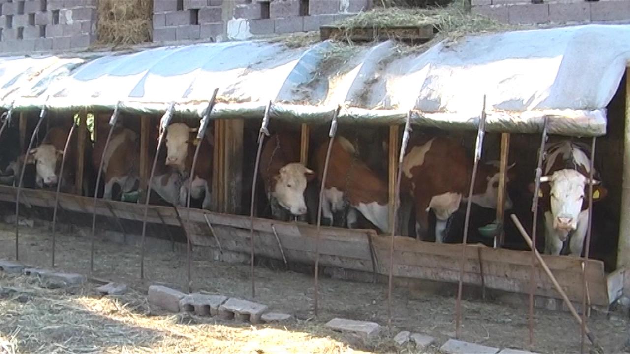 Puno izazova u mlečnom govedarstvu