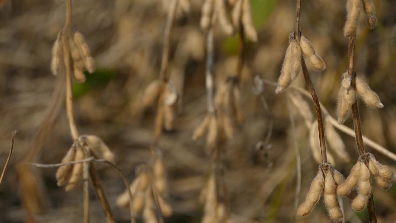 Prinos soje manji za čak 60%