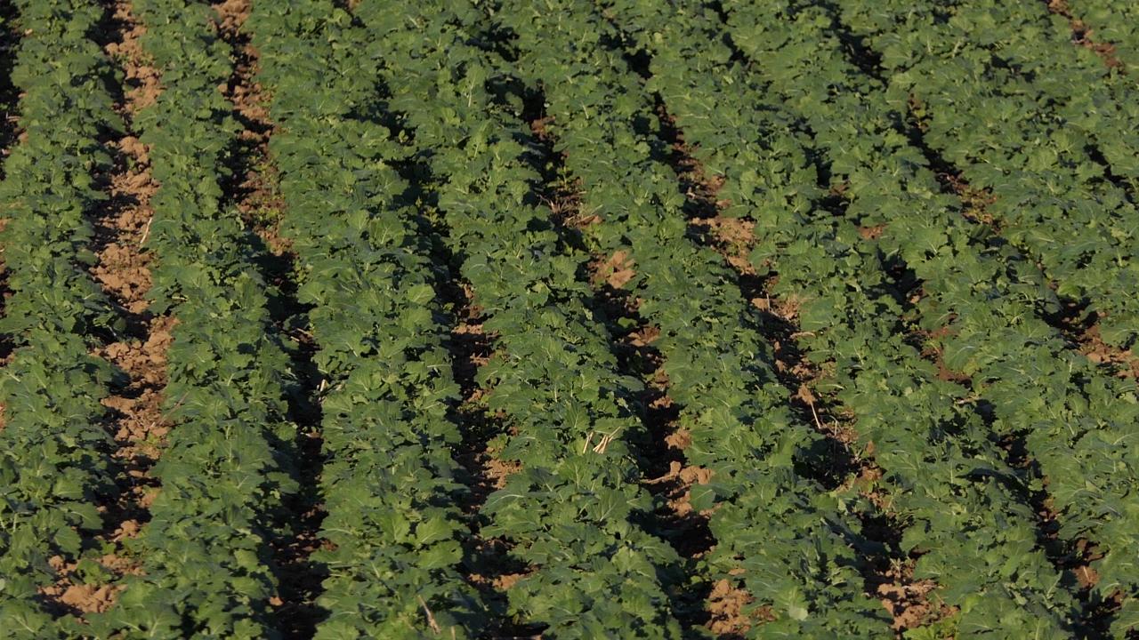 Rastu i površine pod suncokretom