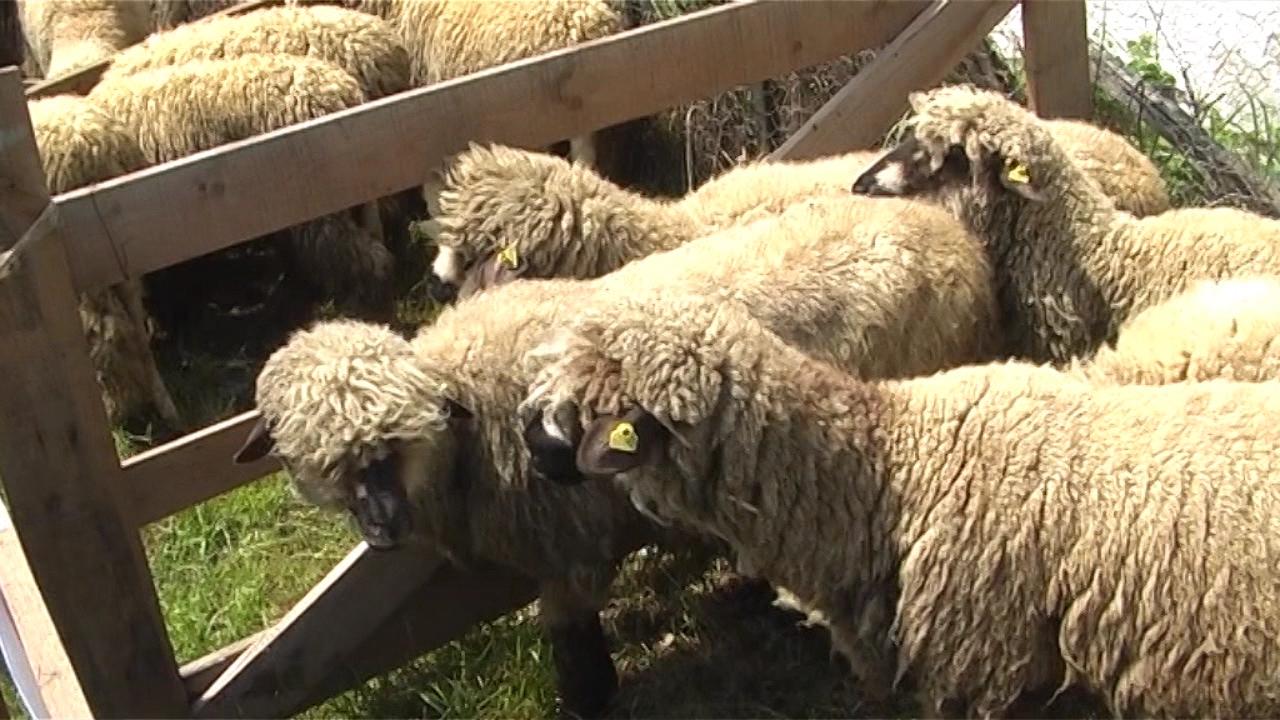 U Srbiji najviše autohtonih ovaca