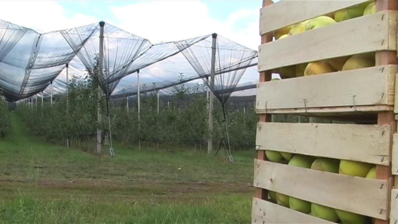 Savremena proizvodnja jabuka iziskuje velika ulaganja