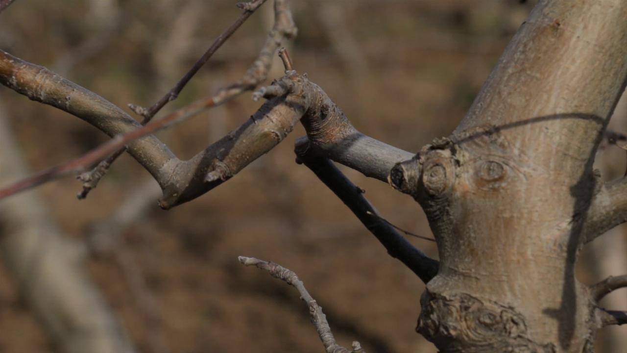 Najugroženije koštičave voćne vrste