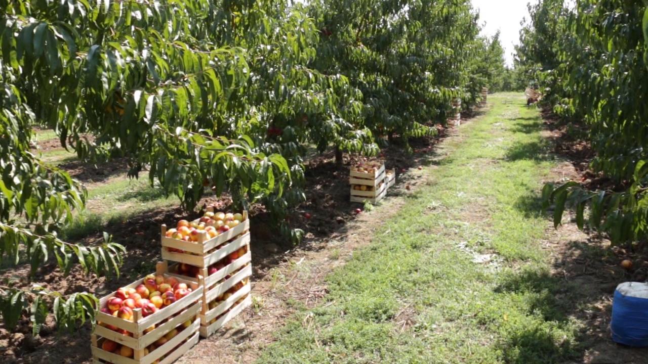 Najveće interesovanje za nove zasade višnje, jabuke, borovnice