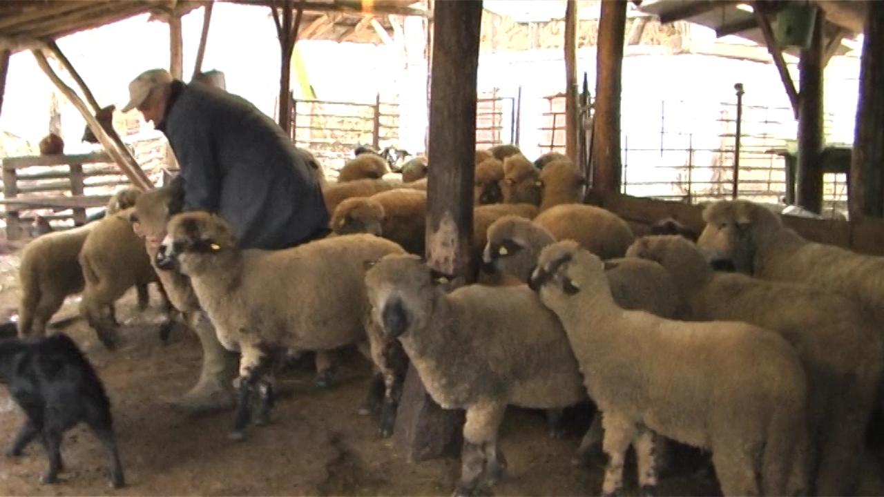 Ovčarima subvencije od velike pomoći
