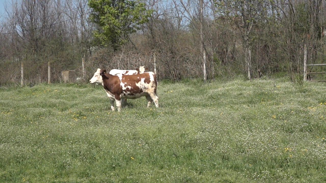 Ispaša veoma bitna za krave