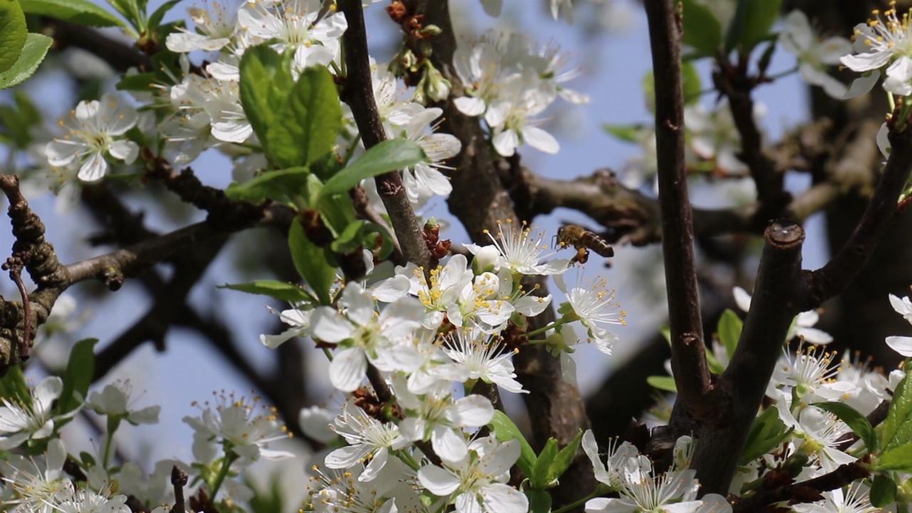 Zaštita pčela pomaže i voćarima