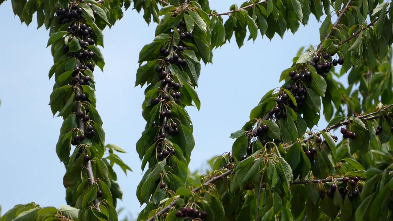 Toplo vreme zaštitilo voćnjake od infekcija