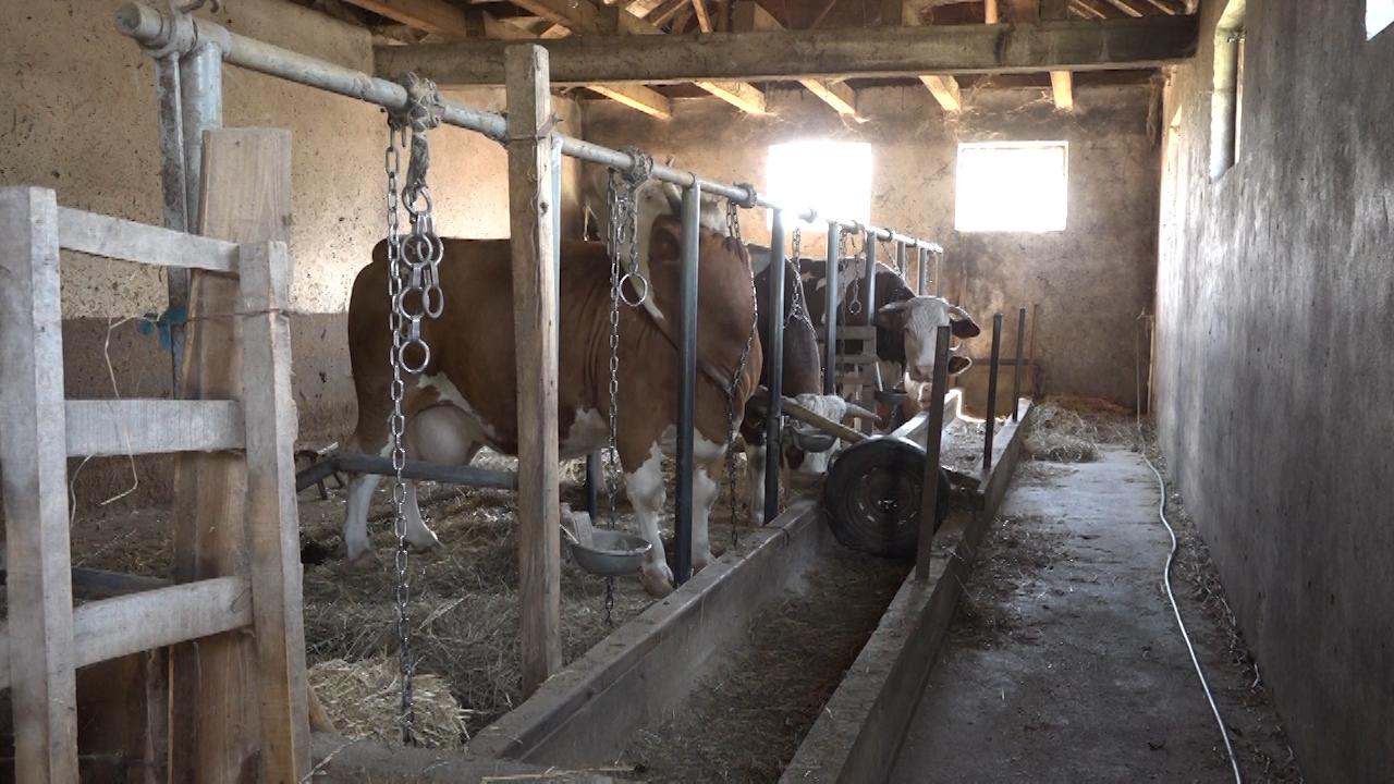 Cene mleka i nafte smanjuju broj krava
