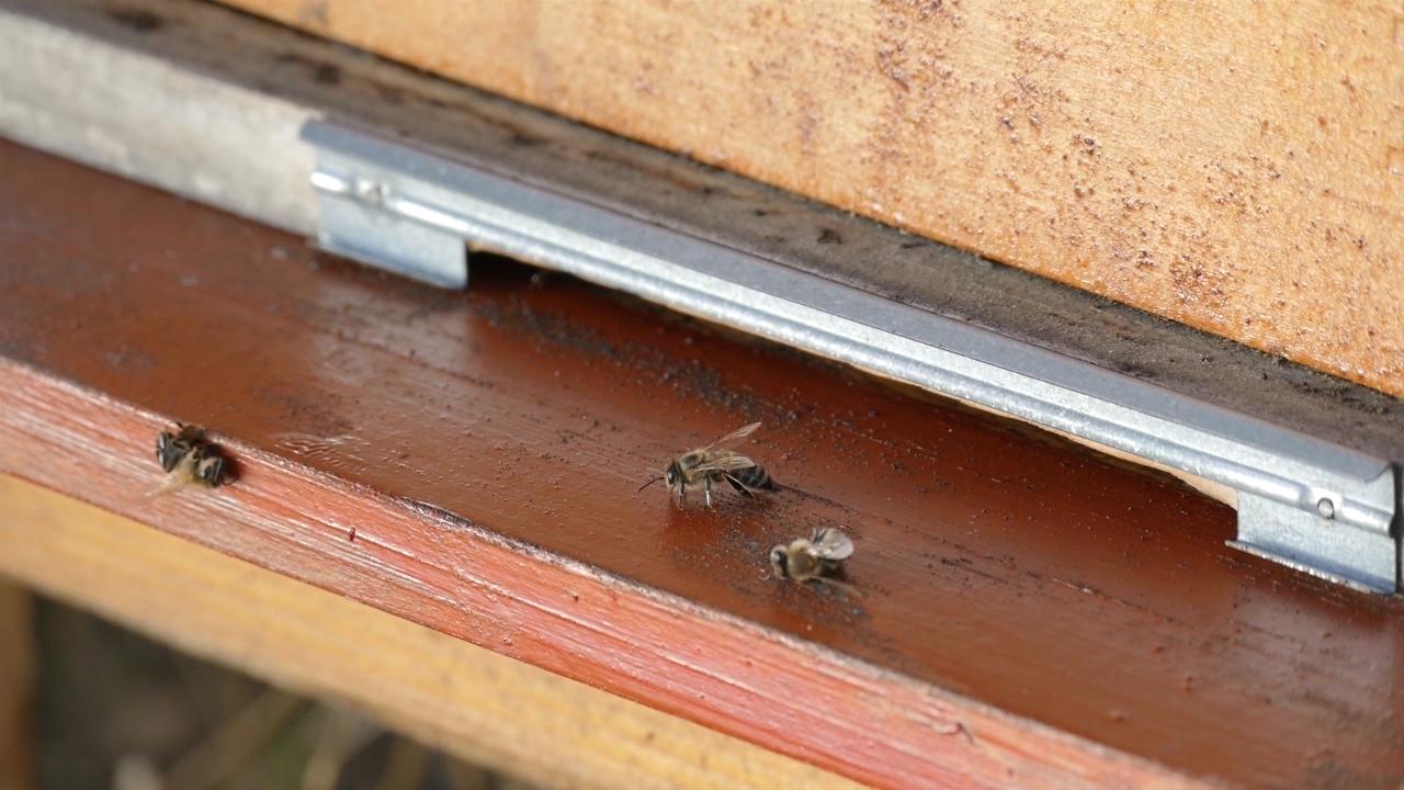 Trovanje pčela na suncokretovoj paši