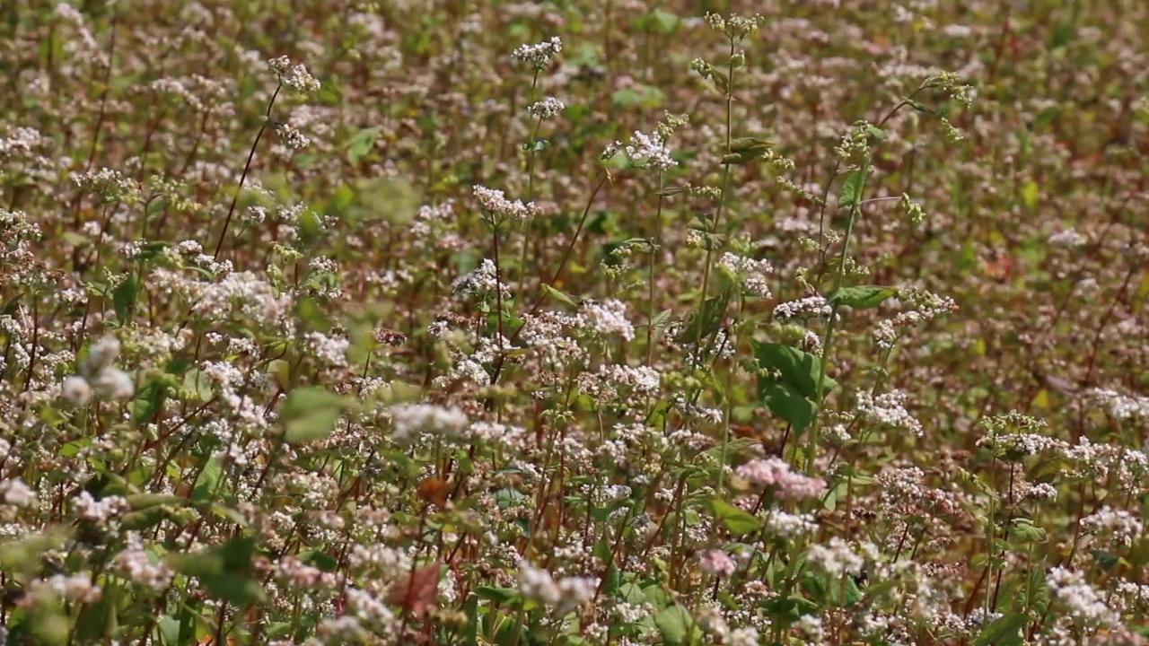 Puno razloga za uzgoj heljde