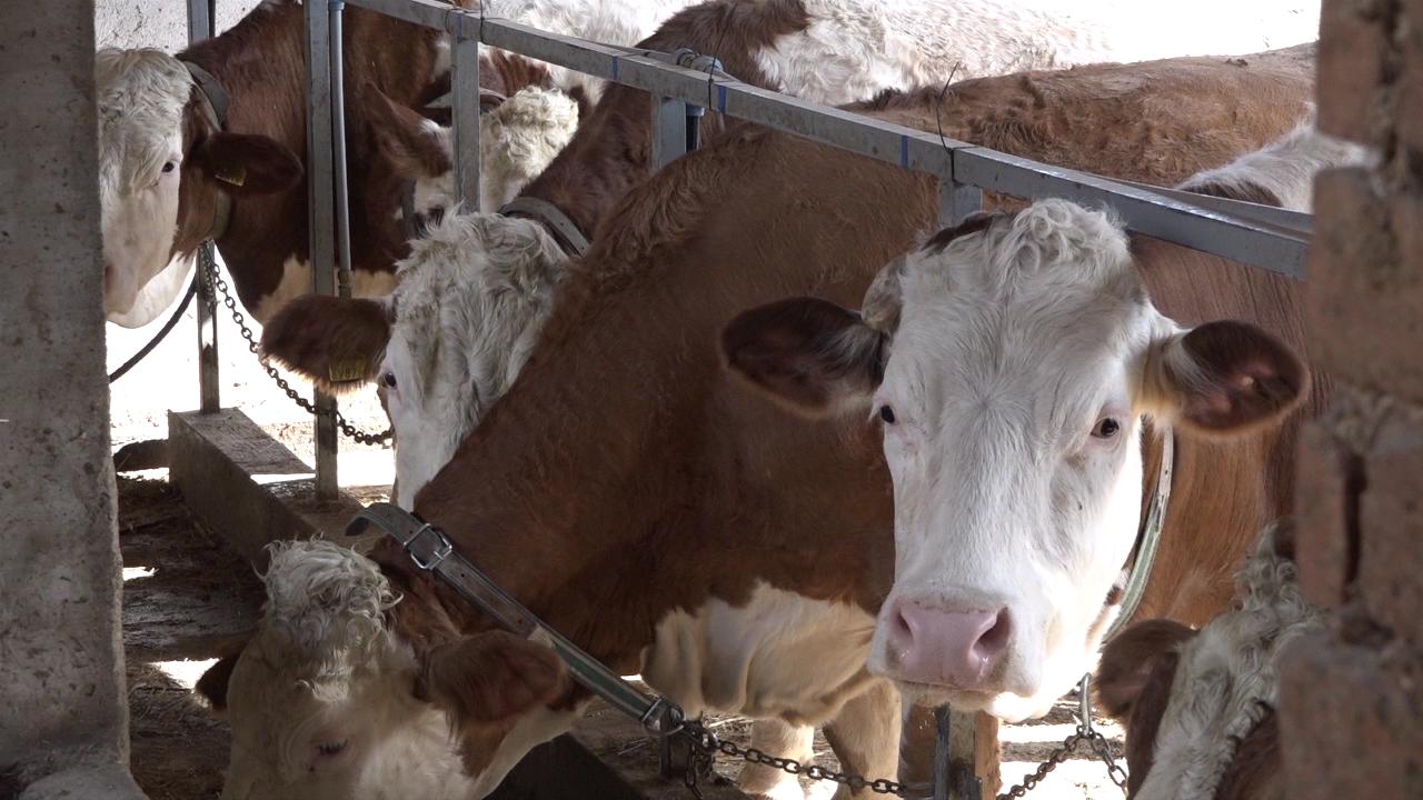 Koža i dlaka krava ogledalo zdravlja