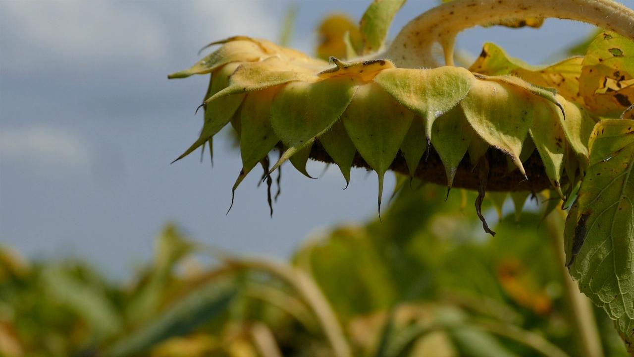 Rod suncokreta odličnog kvaliteta