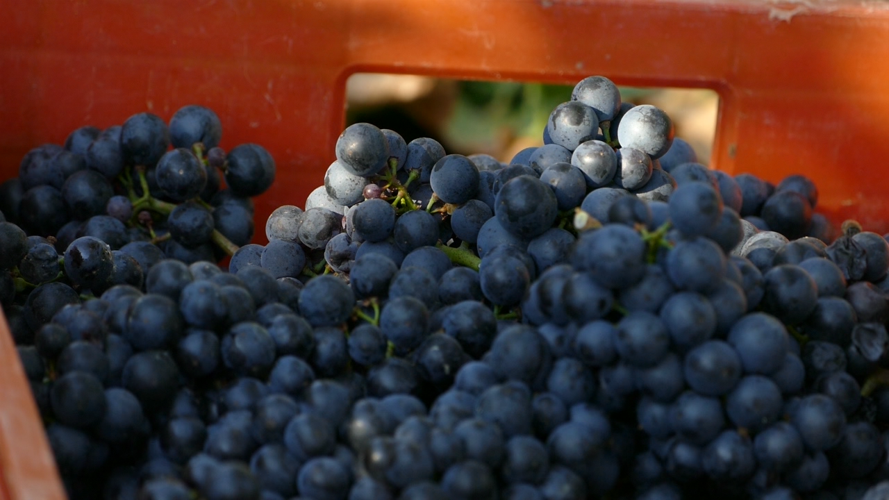 Manifestacije u čast berbe grožđa