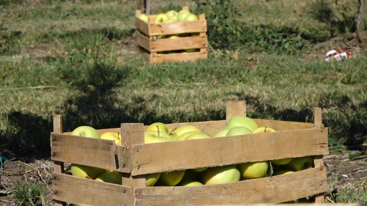 Gajba košta koliko i 3 do 4 kilograma jabuka