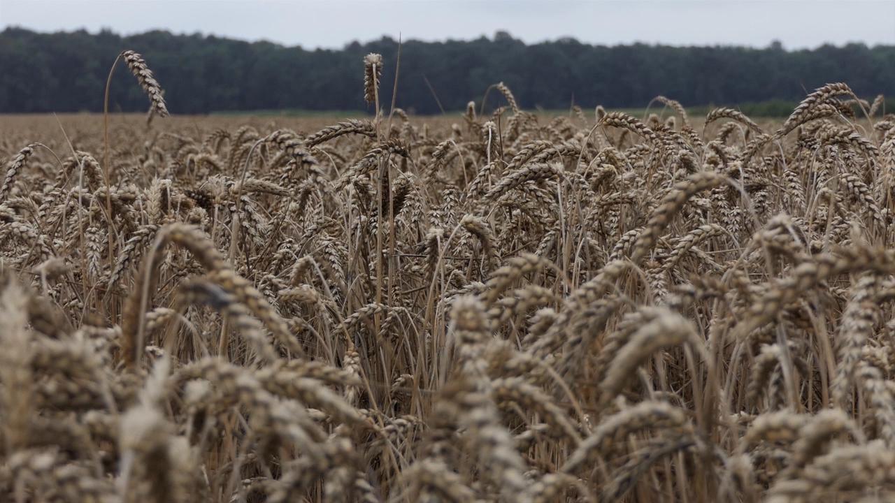 Cena kukuruza od 13,80 do 14,30 dinara