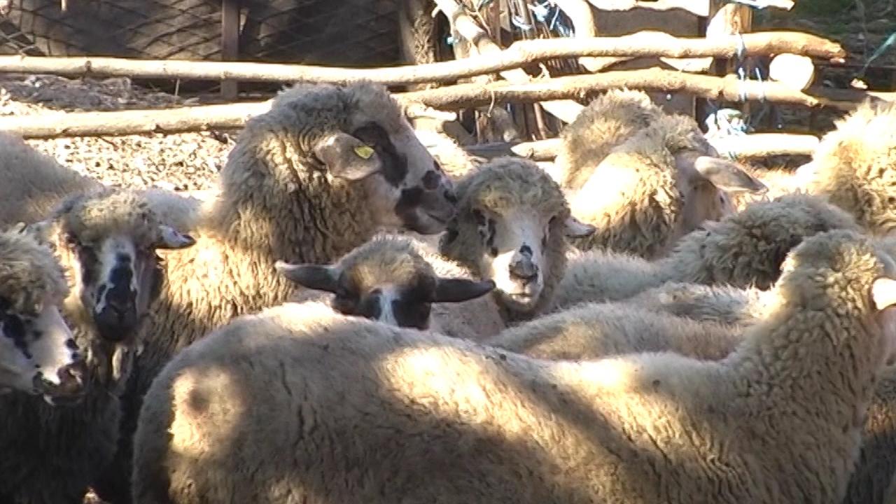 Mladi slabo zainteresovani za ovčarstvo
