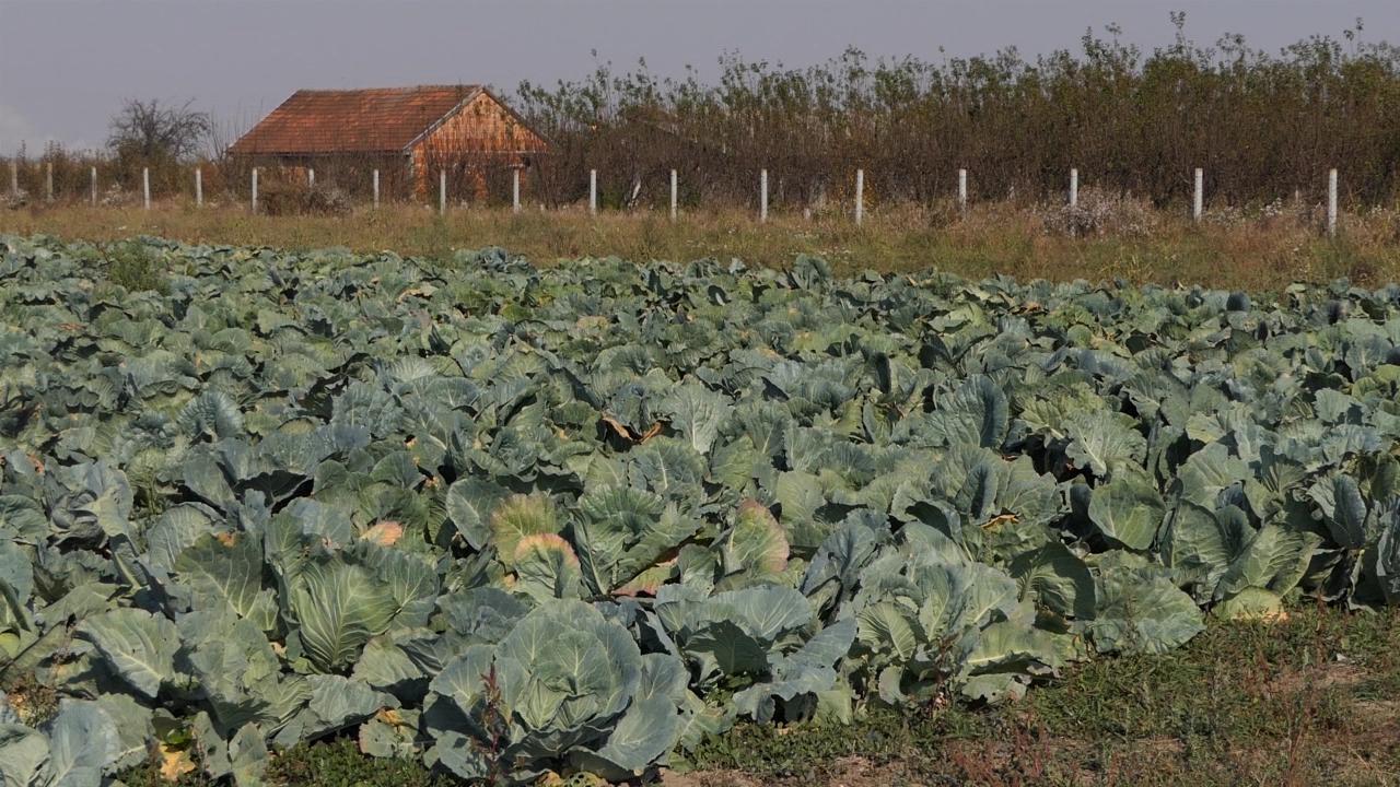 Dobar rod povrtarskih kultura na severu Bačke