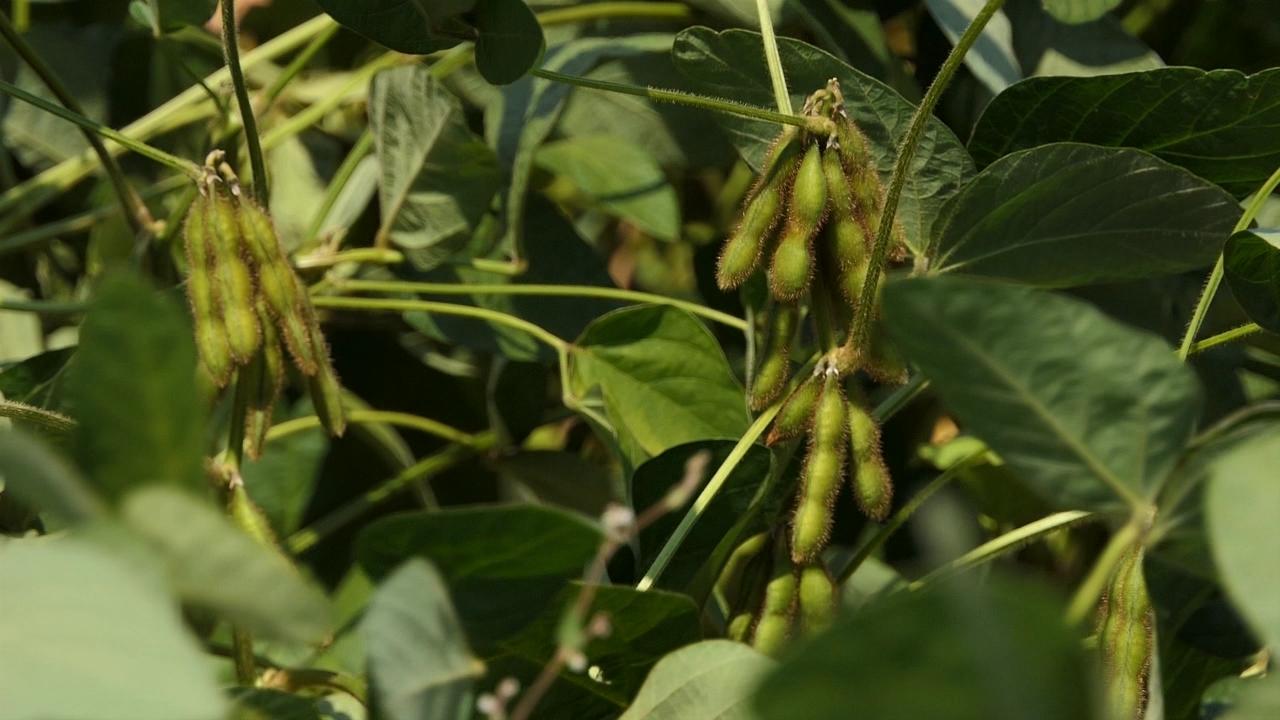 GMO (ne)ulazi u Srbiju