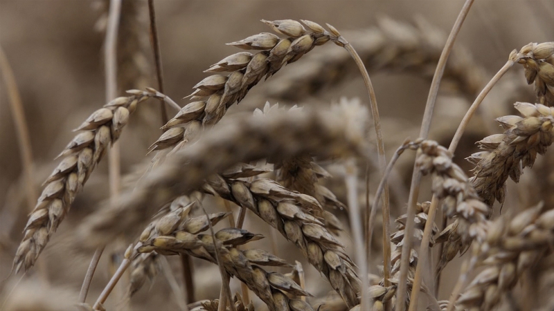 Izgubljena žetva za kvalitetnu pšenicu