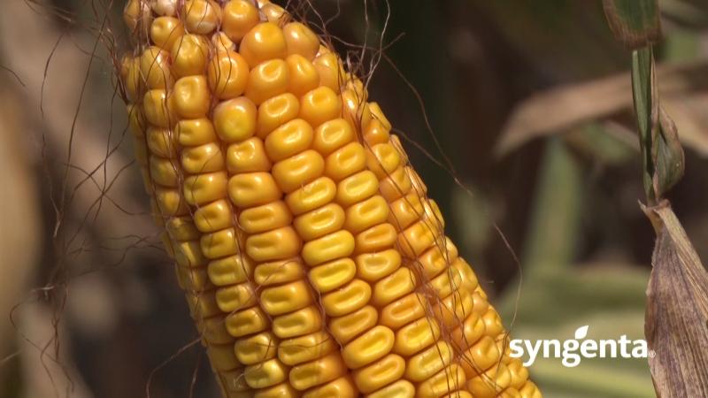 Artesian - hibridi kukuruza prilagodljivi na sušu