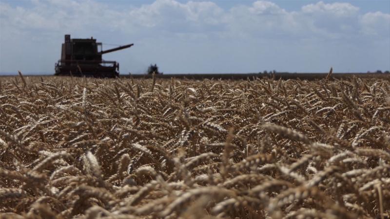 Kvalitetna pšenica za probirljivo tržište