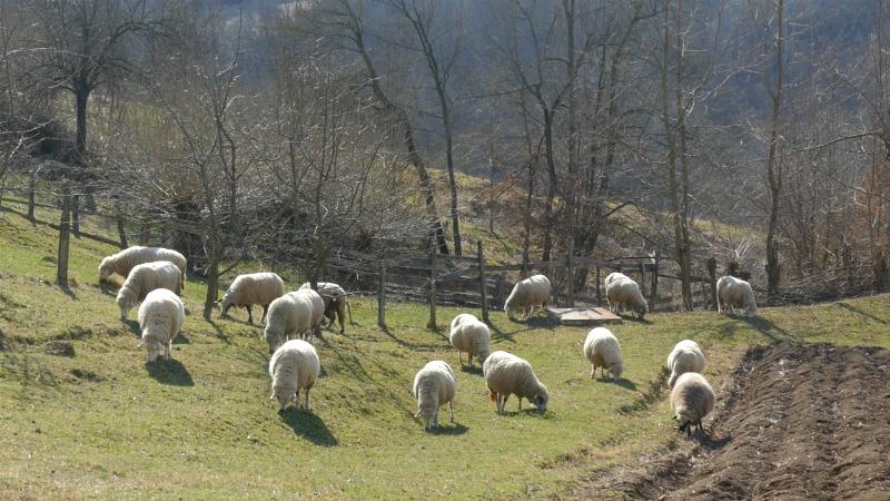 Revolucija u gajenju ovaca