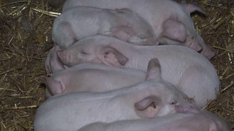 U strahu od afričke kuge svinja