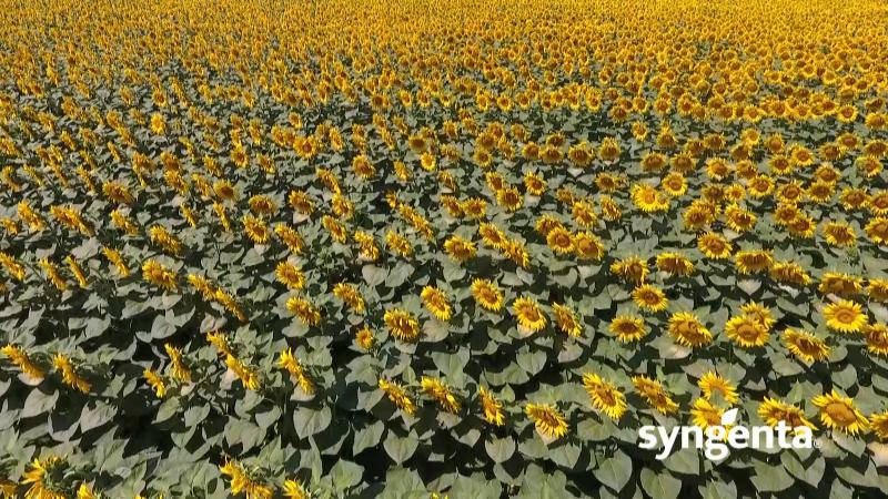 Uz herbicid Listego plus garantovan uspeh u proizvodnji suncokreta