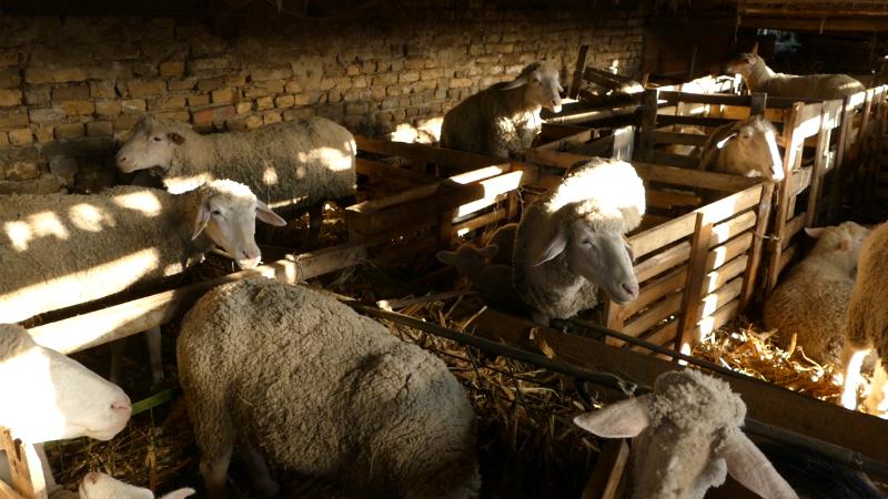 Ovčarstvo privlači mlade stočare