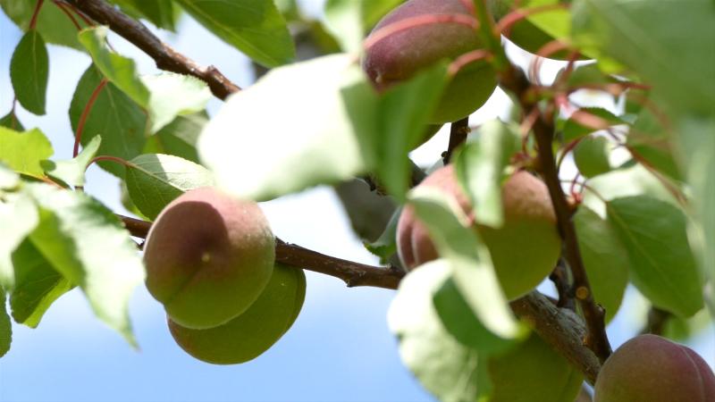 Penzionerka od proizvodnje voća napravila dobar biznis