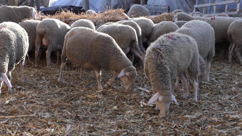 Tri jagnjeta za dve godine
