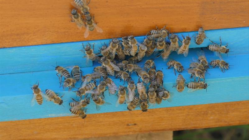 Zabranjeni pesticidi ubijaju pčele