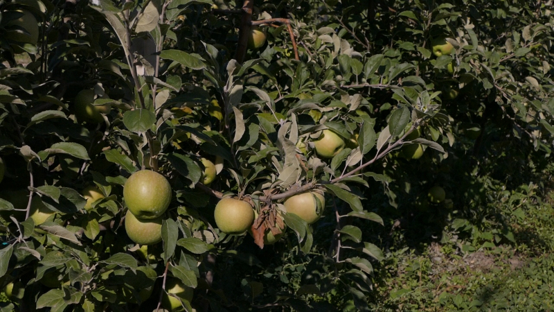 Jabuka iz Srbije sve teže dolazi do kupaca u Rusiji