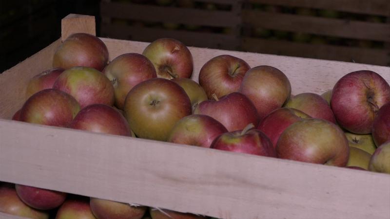 Drastično niska otkupna cena jabuke na tržištu