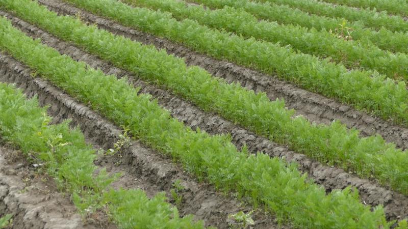 Povrtari počeli setvu na otvorenom polju